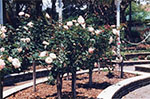 The rose garden in the Queens Gardens, Townsville, 1992